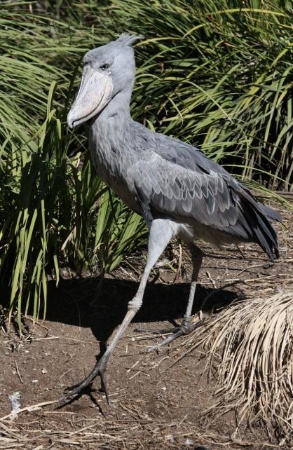 Shoebill | Fauna: Shoebills | Shoebill, Shoebill stork ...