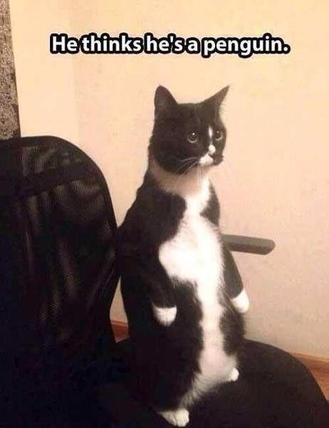 I'm a penguin!   #funnycats #catmemes #funnymemes http://www.nojigoji.com.au/