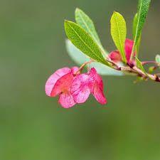 Image result for akeake female flower