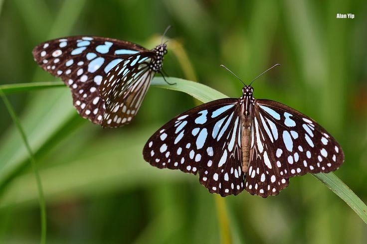 青斑蝶 20161108 DSC_2362  Insecta: Lepidoptera Nymphalidae, Danainae  (Tirumalal limniace) Kei Ling Ha, Hong Kong