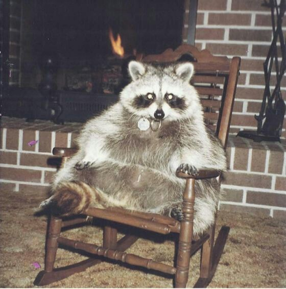 Fat Raccoon Rocking | Savannah | Pet raccoon, Cute raccoon ...