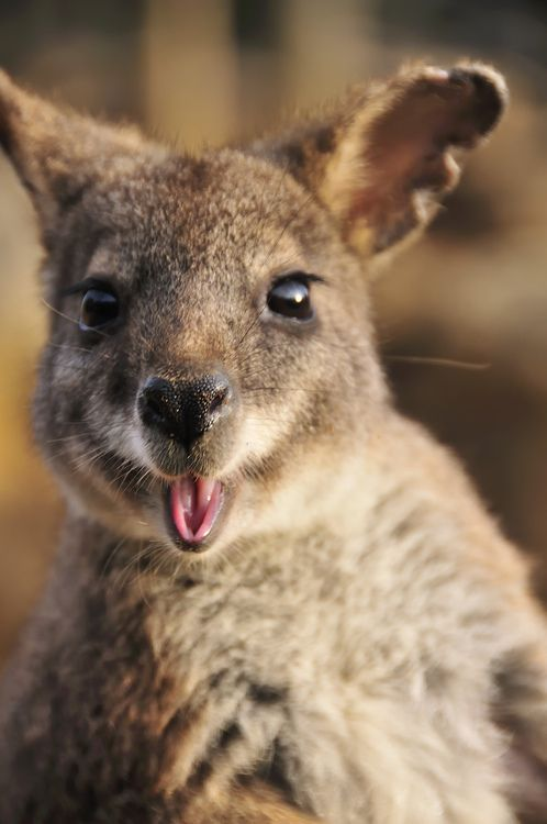 Wallabies are widespread across Australia, particularly in more remote, rocky and rugged areas. Spot them in South Australia's Flinders Ranges, Tasmania's Freycinet National Park and in Namadgi and Kosciuszko National Parks in the Australian Alps.