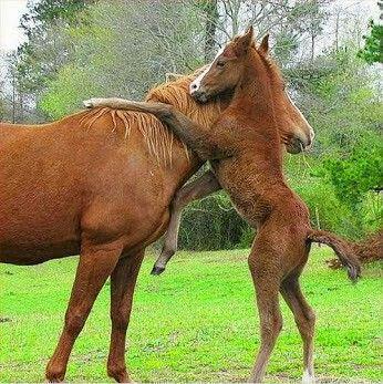 Csikó és mamája