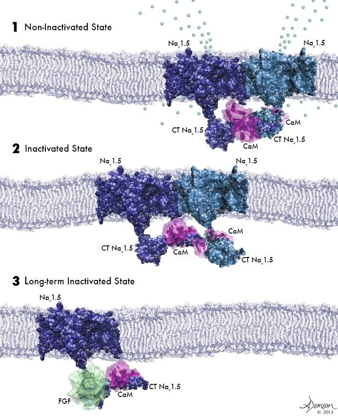Activation of Sodium Channels.   (1) Two activated sodium channels embedded in the cell membrane are bound to each other and to a calmodulin molecule (purple). (2) Sodium channels bound to each other and to calmodulin are poised for activation but have not yet been opened by voltage change. (3) A sodium channel not bound to another channel cannot be activated by a voltage change.