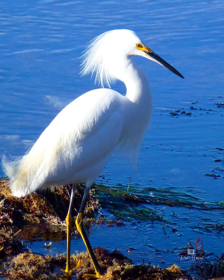 White crane bird - photo#17