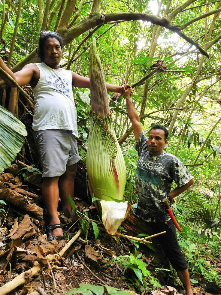 Amorphophallus Titanum with Robet and Batu Katak guide Bahagia