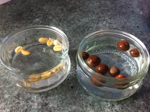 можно ли замачивать семена бархатцев