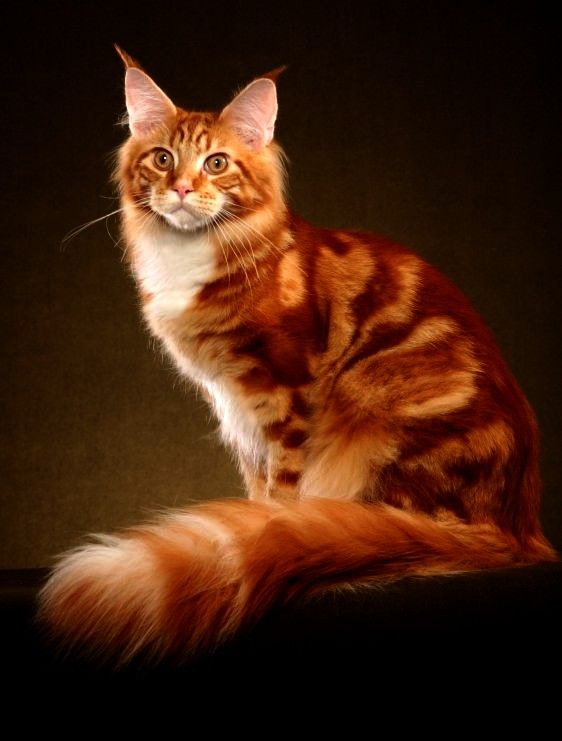 Image result for dark red  tabby