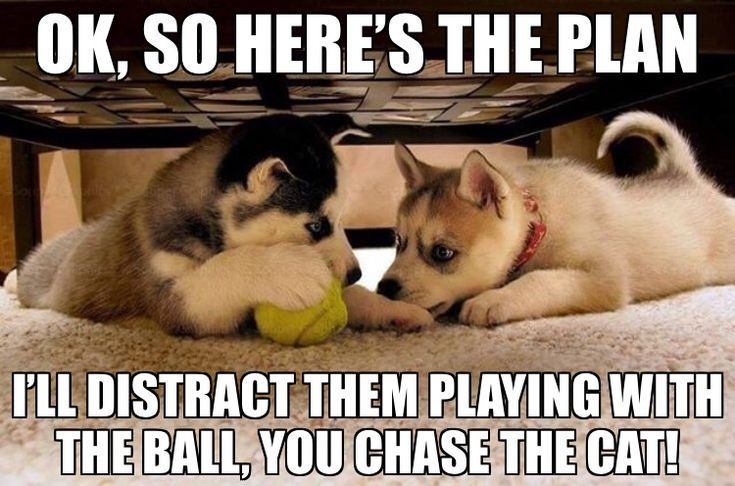 Ok Lets Do This Thing Funny Husky Meme Funny Husky Quote Husky Funny Fun Husky Funny Husky Memes Dog Quotes Funny