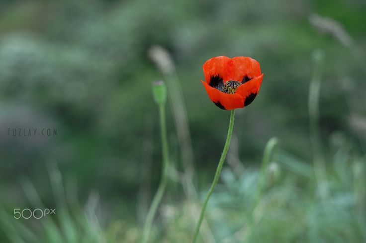 """Simply poppy - From the series """"Vegetation of the Taman Peninsula"""". (2017)"""