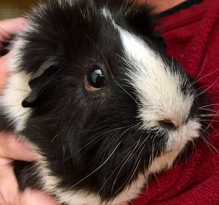 Havi The Guinea Pig