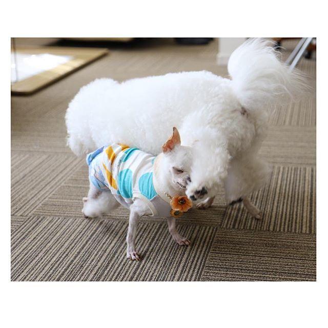 ひまたいかるた♡. . . い→犬も歩けば棒にあたる. . . .  #ひまわり #たいよう #Chihuahua #チワワ #スムースコートチワワ #スムチー #スムチ #チワワの親子 #チワワ部 #愛犬 #里親 #元繁殖犬 #多頭飼い #犬バカ部 #犬との生活 #instalike #instadaily #instagood  #dog #dogsofinstagram #犬も歩けば棒にあたる #今年のベストショット #doglover #chihuahualife #Chihuahualove #ちわすたぐらむ #かわいい #ilovedogs #dogstagram #ひまたいかるた