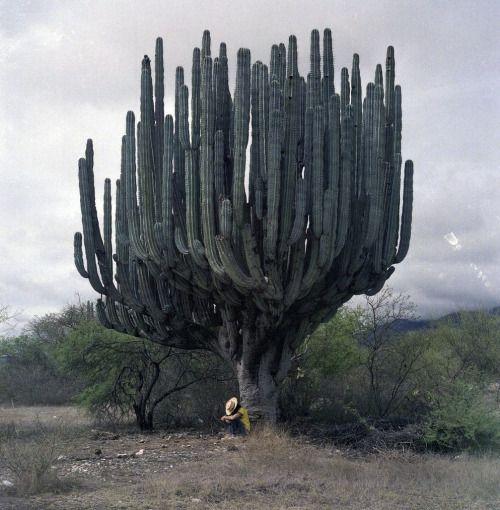 "likeafieldmouse: "" Saguaro Cactus """