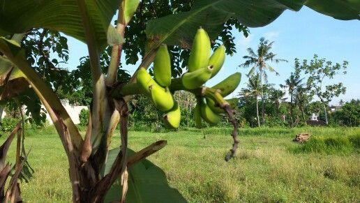 Mini Bananas on the road