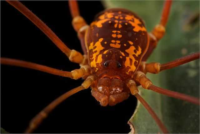 Harvestman with orange markings.  Photo from Bastimentos island, Panama.
