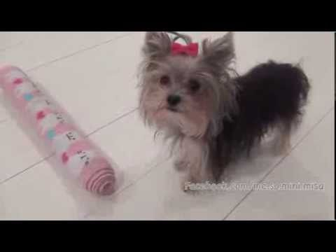 This is the cutest and SMARTEST little Yorkie! Worlds Smartest Puppy Misa Minnie 10 months old - YouTube http://youtu.be/9frADAj58Xg