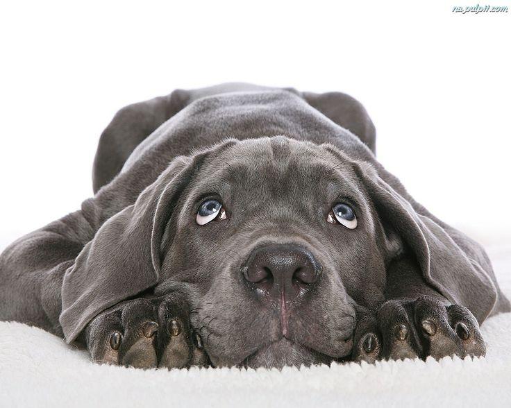 Szczeniak, Czarny, Labrador Retriever