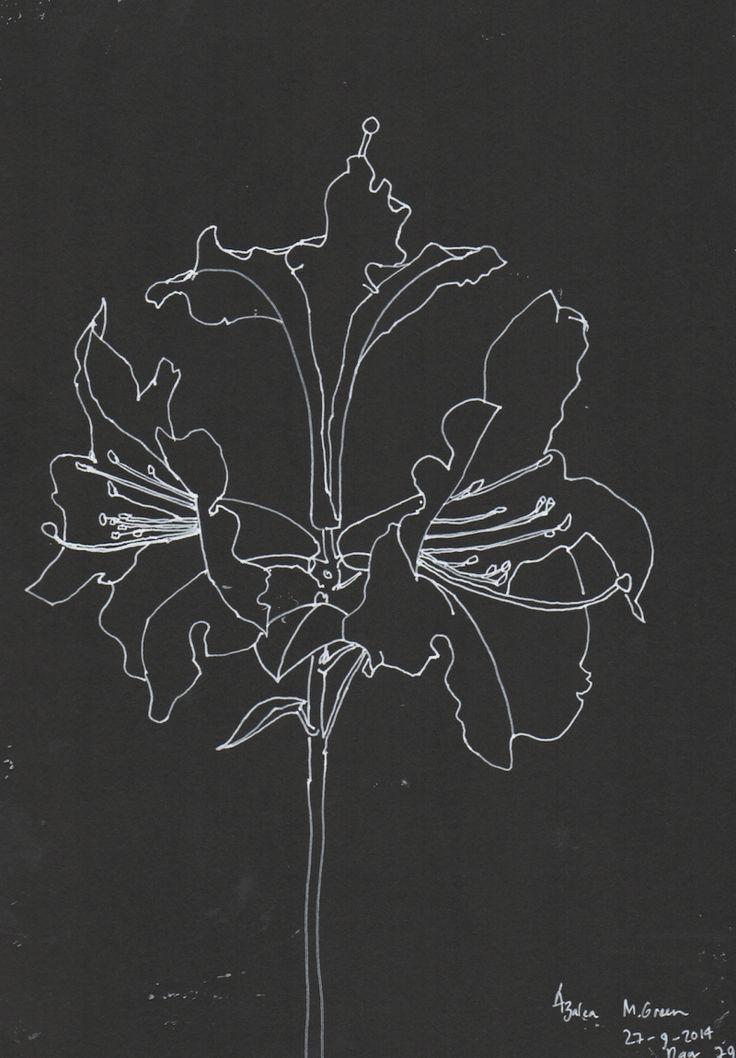 Azalea, line drawing, Marita Green