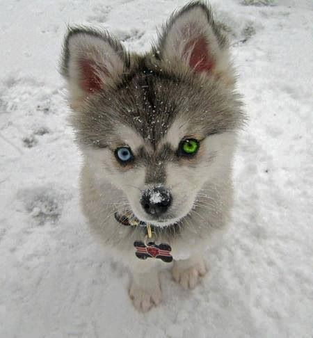 Blue/Green Eyed Husky   Animals   Pinterest