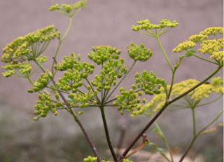 Beware Wild Parsnip!  Tell your kiddos to watch out for this plant!  IT burns!