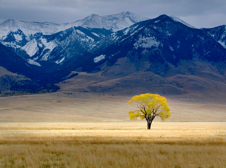 "Dennis Frates, Montana. Lone fall tree  ""This tree was the only one around for miles in this remote area, and its  stark beauty appealed to me. It just happened to be in full fall colour the day  I passed by. An early fall of snow covered the mountains in the background."