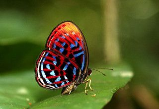 The Banded Red Harlequin ♀ - ผีเสื้อสีชาดลายแถบ   by Antonio Giudici Butterfly Trips