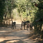 a family of baboons going for a stroll in the sand forest
