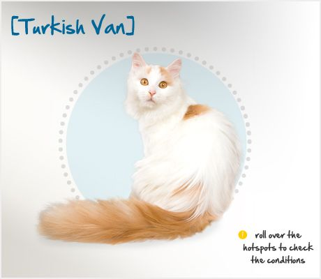 """Did you know the semi-long hair of the Turkish Van lacks an undercoat, giving this breed its characteristic velvety soft fur and providing some water resistance? Unlike most other feline breeds, the Turkish Van is particularly fond of water and has been nicknamed the """"swimming cat."""""""