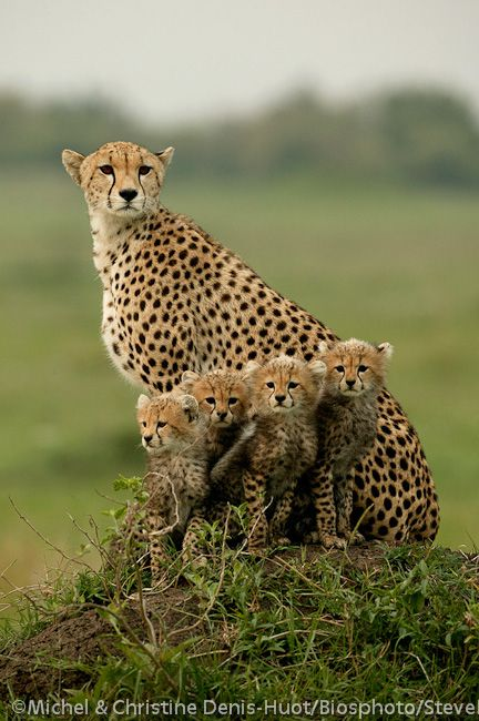 Proud mother cheetah and her four beautiful babies. Photo by Michel and Christine Denis-Huot.