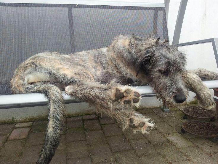 136 best ideas about Wolfhounds! on Pinterest | Wolves ...  Deerhounds