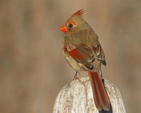 Genial Indiana Backyard Birds   My Backyard Bird For The Day Is The Northern  Cardinal. These