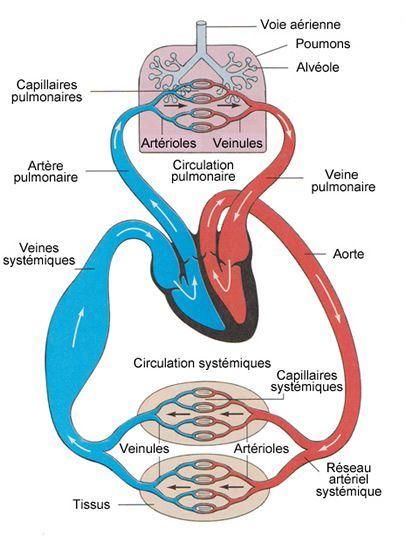 Schéma de la circulation sanguine: circulation pulmonaire et circulation systémique@@