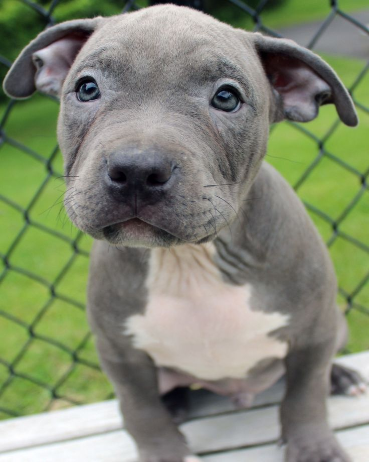 Amazing blue pitbull puppy maleinbox for info puppy