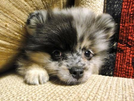 Sophie the Pomeranian.  Interesting colors/markings!  Cute lil face~