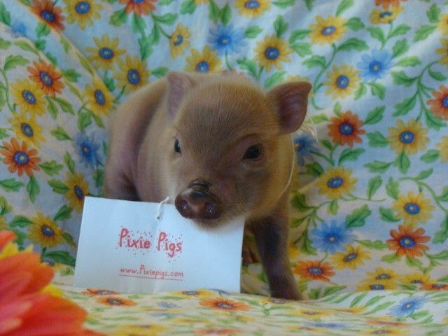Tiny teacup pigs, micro mini pigs and pixie pigs