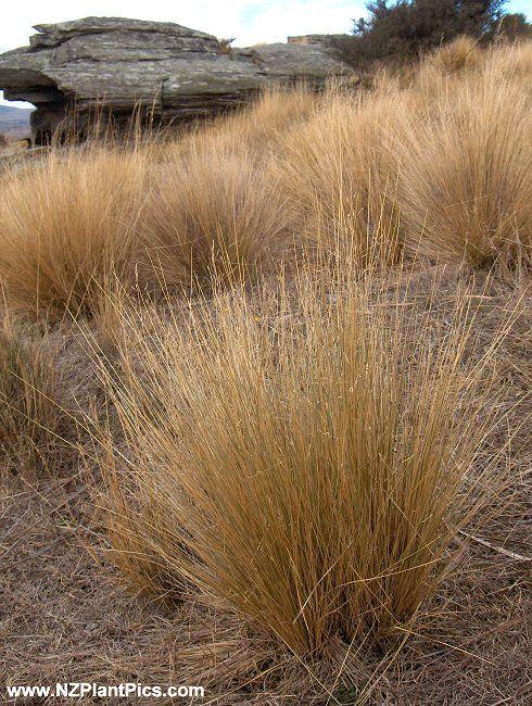 festuca_novae-zelandiae_tussock_grass.jpg (490×650)