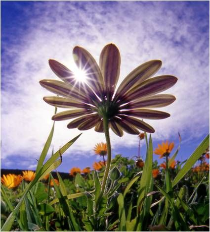 The Namaqualand daisy, LMLMN inspiration (image from http://www.kruger-2-kalahari.com)
