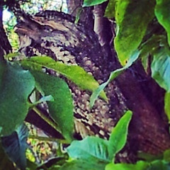 Australian Wildlife- Tawney Frogmouth perched in a tree. So well camouflaged against the tree bark you can make out its head in the top left of the picture. Tawney frogmouths are nocturnal night hunters feeding on frogs,  insects and other small prey.