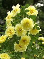 Rosa harisonii William's Double Yellow  At/Co