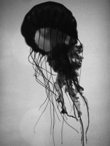 Jellyfish Photographic Print by Henry Horenstein at AllPosters.com