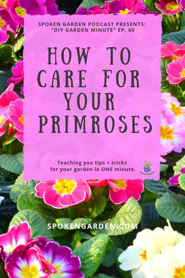 Primrose Care Made Easy Diy Garden Minute Ep 60 Primrose