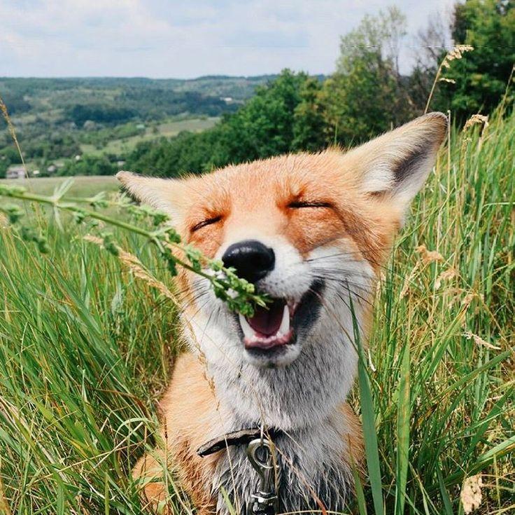 Картинки про лису смешную