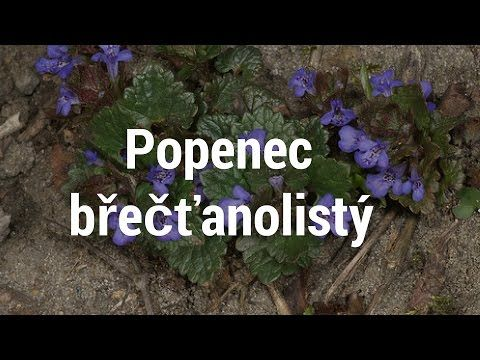 Popenec - zapomenutá léčivka I Síla pro život - YouTube