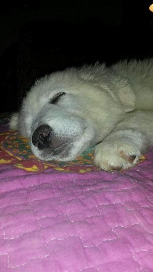 Maggie is an adoptable Great Pyrenees Dog in White River Junction, VT Maggie is a super sweet 10 week old puppy. She loves other dogs (including very large dogs)  an ... ...Read more about me on @petfinder.com
