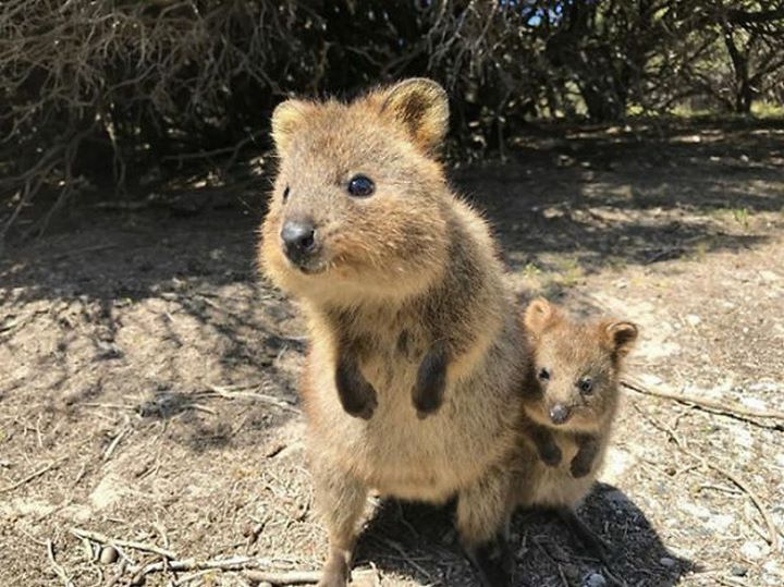 43 best QUOKKA ADORABLE images on Pinterest | Happy ...