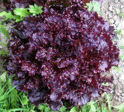 Eko Plocksallat Merlot, Väldigt vacker med blanka mörkröda blad. Senblommande. God men inte delikat. 25kr