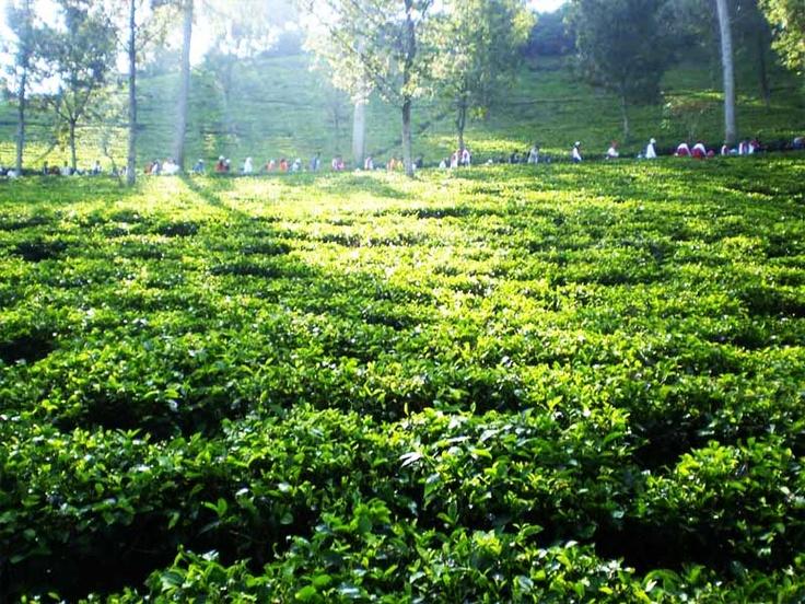 Tea Walk at Gunung Mas, Puncak Bogor, West Java, Indonesia