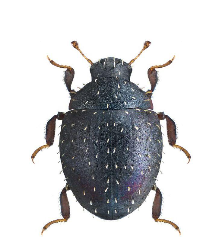 Chaetophora spinosa