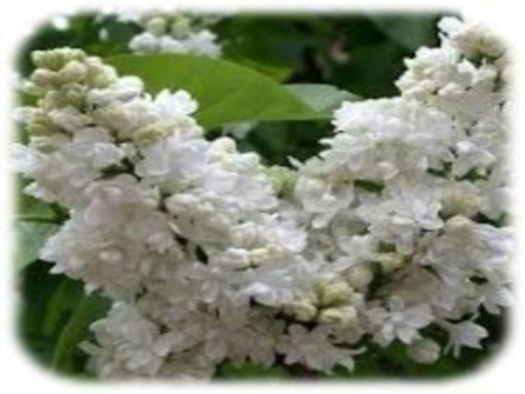 JEZUS en MARIA Groep.: WIJSHEID:  Verkenning van de Onbevlekte Tuin: Eén van de grootste verrukkingen in de Onbevlekte Tuin biedt zich aan het zielsoog van de bezoeker in de aanblik van de weelderige witte seringenbloesems. Door hun sneeuwwit uiterlijk nemen zij optimaal het licht van de zon op. Wanneer deze heerlijk geurende trossen echter tijdens hun bloei plots regen te verduren krijgen, worden zij bruin. Zie het machtige symbool dat God in deze prachtige heester heeft verborgen voor de…