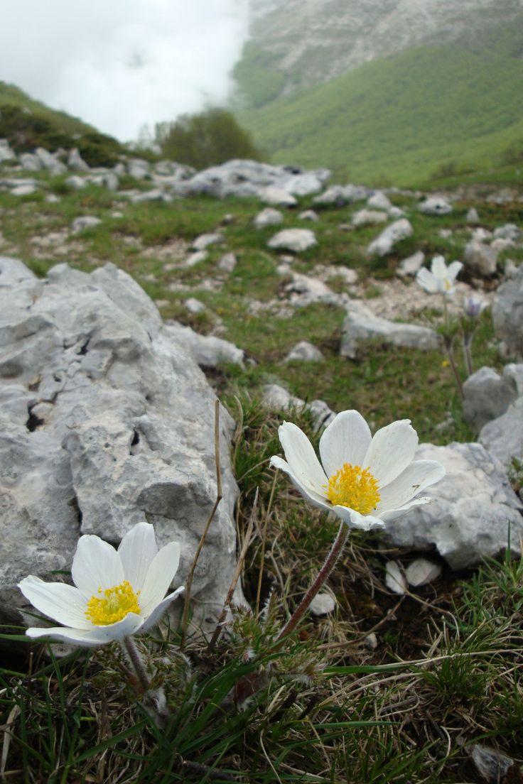 Anemone nemorosa. Backsippa/hvitveis. Autum sowing. Blooms May